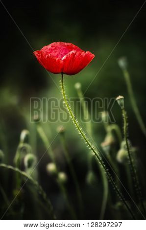 Red poppy flower blooming, floral dark gloomy natural spring  vintage hipster background, can be used as image for remembrance and reconciliation day