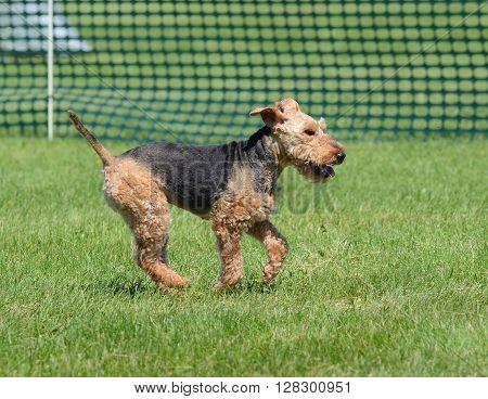 A Welsh Terrier Running on Grass Lawn poster