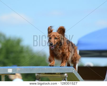 Dachshund Running on a Dog Walk at an Agility Trial
