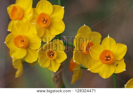 A group of bright yellow and orange Jonquil flowers, featuring a small black ant
