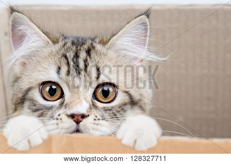 Lovely tabby persian cat playing hide and seek in paper box