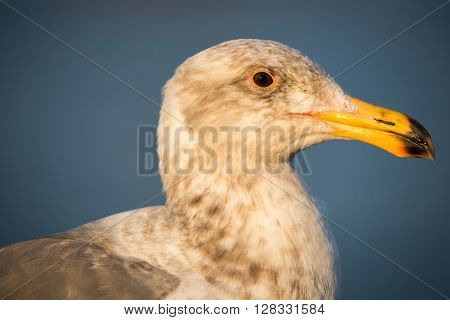 California Gull, Larus californicus. A common winter gull of the West Coast, the California Gull breeds inland across large areas of the West. It can be found in parking lots and lakes from California to Manitoba.