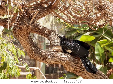 Blue throated piping guan bird Pava goliazul perches in a tree over a pond.