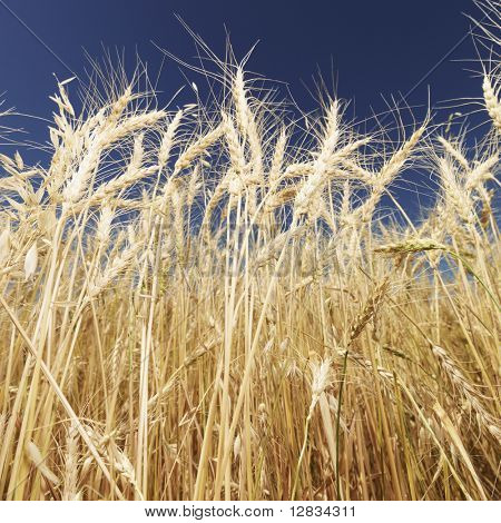 Worms eye view of golden wheat field ready for harvest agaist blue sky.