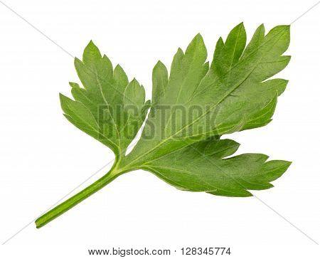 Branch of fresh parsley. Sprig of parsley isolated on white background. Seasoning herb fresh parsley