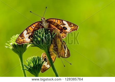 Buckeye Butterfly (Junonia coenia) Mating. Sunlight shining through wings making them almost glow