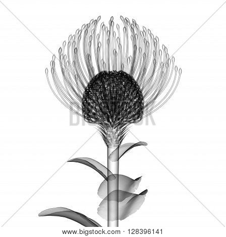 X-ray Image Of A Flower Isolated On White , The Nodding Pincushion