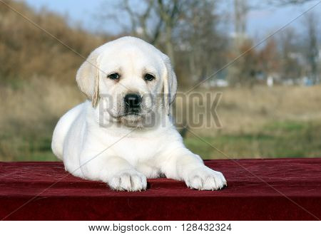 The Nice Yellow  Labrador Puppy On Red