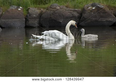 Parent swan with her Cygnet reflecting in the water