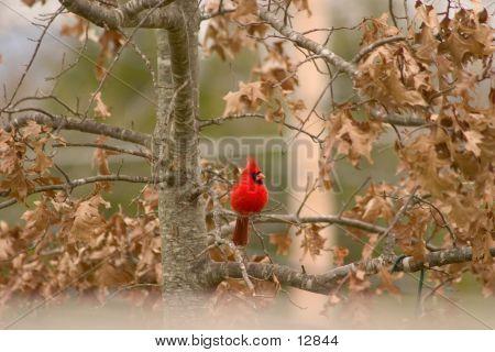 Red Bird Cardinal