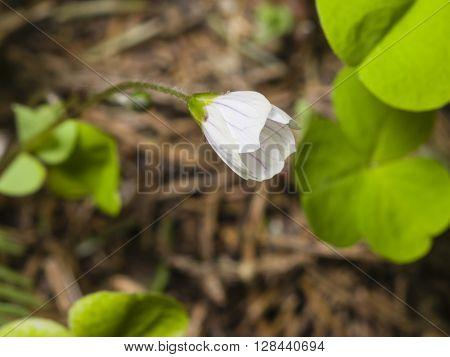 Common Wood Sorrel Oxalis acetosella flower macro with leaves defocused selective focus shallow DOF