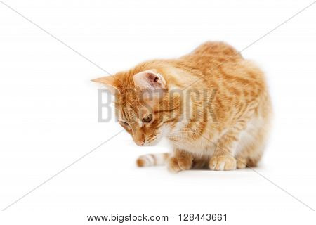 Ginger Cat Cat Sitting And Looking Down. Isolated On White.