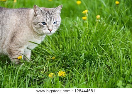 Domestic grey cat standing in the green grass with dandelions in summer, copy space