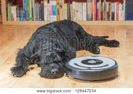 Bored Giant Black Schnauzer dog is lying next to the robotic vacuum cleaner on the floor. All potential trademarks and control buttons are removed.View from a higher angle.