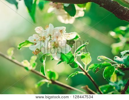 Flowerage of a Cherry Tree with White Flowers,Spring and Summer,Nature Background,Toned