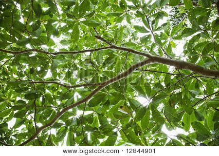 Low angle view of tree with backlit leaves in Daintree Rainforest, Australia.