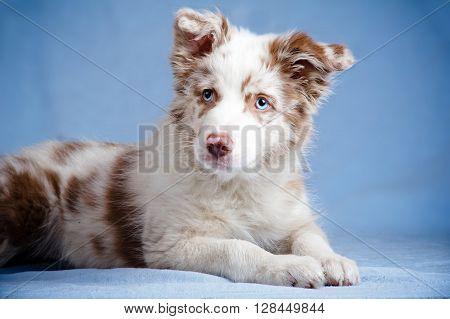 Border collie merle color puppy in studio