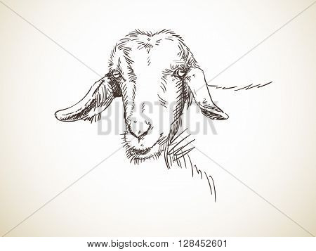Sketch of goat's head hornless Hand drawn illustration Isolated