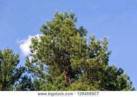 Green Tree On Blue Sky Background In The Forest
