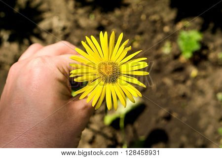Yellow Daisy Flower In The Hand Macro