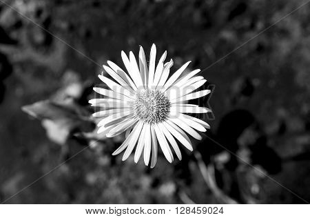 Daisy Flower In The Grass Macro Black And White
