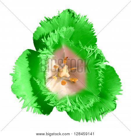 Exotic Green Tender Tulip Flower Macro Isolated On White