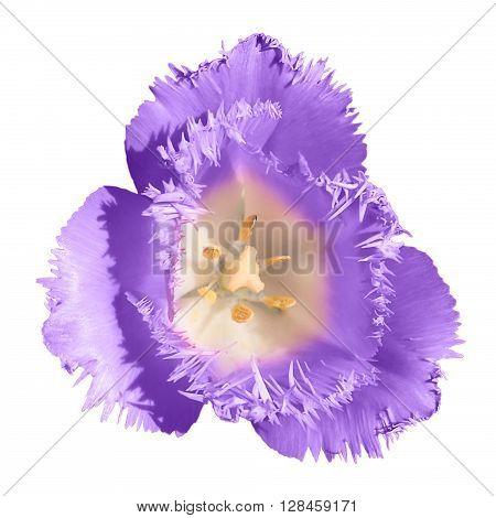 Exotic Violet Tender Tulip Flower Macro Isolated On White