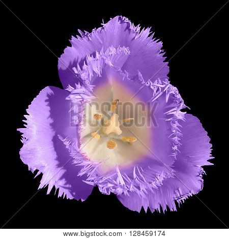 Exotic Violet Tender Tulip Flower Macro Isolated On Black