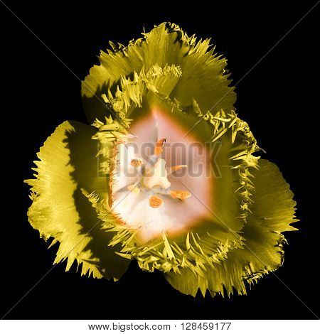 Surreal Dark Chrome Contrast Exotic Yellow Tulip Flower Macro Isolated On Black