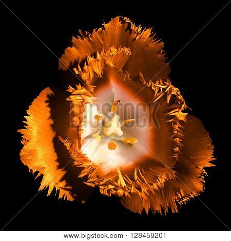 Surreal Dark Chrome Contrast Exotic Orange Tulip Flower Macro Isolated On Black