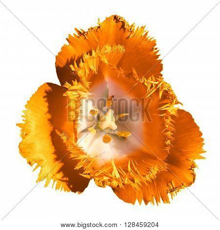 Surreal Dark Chrome Contrast Exotic Orange Tulip Flower Macro Isolated On White