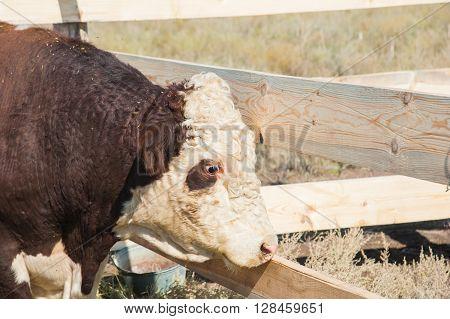 Bull In The Paddock