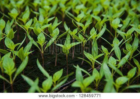 Young Plants In Greenhouse, Close Up