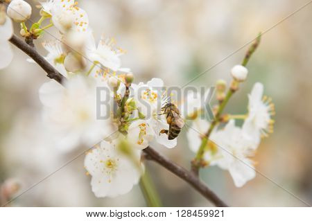 Bee Pollinating Flowers On The Branch Of Apricot