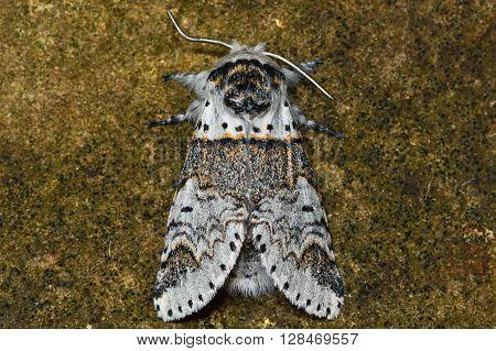 Sallow kitten moth (Furcula furcula). British nocturnal insect in the family Notodontidae at rest