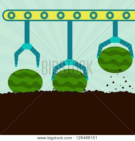 Mechanical Harvesting Watermelons