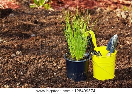 Chive and  gardening tools in the garden.