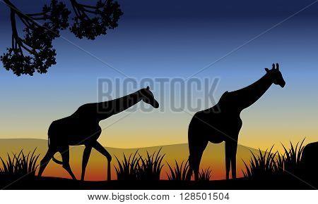 Two giraffe walking in fields at the morning