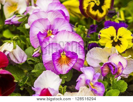 pansies Colorful floral background from flower pansy.Flower Pansy.Background from flower