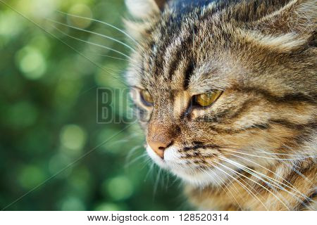 Head of the yellow-brown cat in front of green background