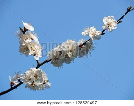 Branch of the cherry tree with white flowers against the blue sky