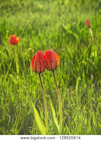 Two red tulips growing together in the green grass with two separated tulips in the background ** Note: Visible grain at 100%, best at smaller sizes