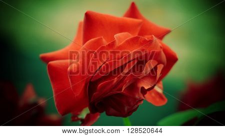 Red rose with fading petals on the green background