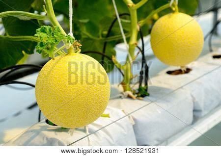 Yellow Cantaloupe Melon Growing In A Greenhouse