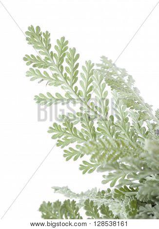 Flora Of Gran Canaria, Leaves Of Tanacetum Ptarmiciflorum