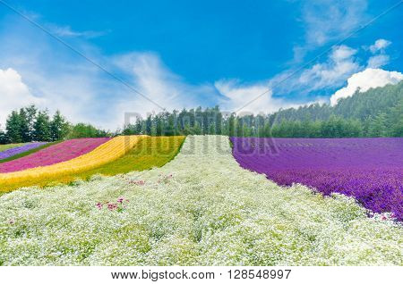 Flower field with gypsophila , near is lavender and many kind of flower on summer with beautiful sky in Tomita farm in Hokkaido, Japan
