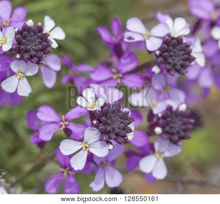 Flora Of Gran Canaria - Abundant Flowering Of Erysimum Albescens