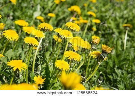 Sunny yellow flowers blowballs in the green vivid grass background in summer ** Note: Shallow depth of field