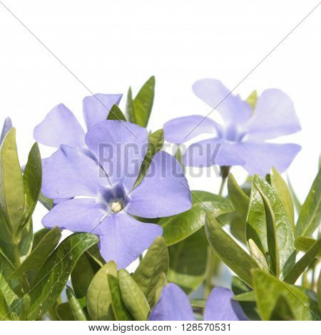 Periwinkle (Vinca) flower isolated on white. Medicinal plant