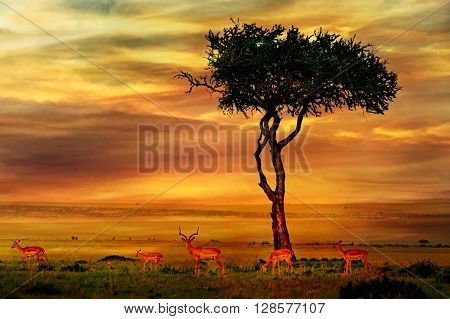 Impala in savannah at African Sunset Background